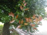 calophyllum_brasiliense_7