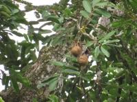 junger Carapa guianensis con fruta