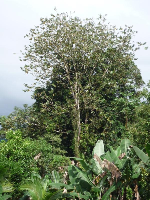 gummibaum im garten gummibaum 1a zimmerpflanzen online kaufen baldur garten gummibaum. Black Bedroom Furniture Sets. Home Design Ideas