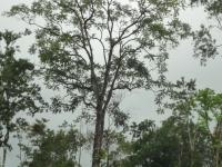 Cedro Amargo - Cedrela odorata
