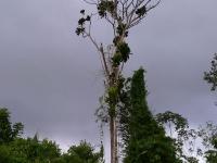 Foto Cespedesia spathulata