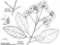 Laurel Mastate - Cordia megalantha