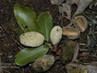 Die Frucht der Waldmandel