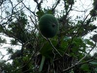 hura_crepitans_frucht