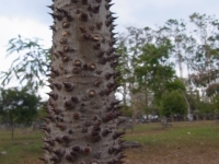 Jabillo - tronco con espinas