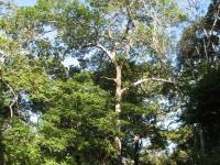 Hymenaea-courbaril-Guapinol-Baum