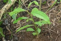 Aguacatillo - Ocotea spp.