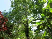 Guayabo de Mono - Posoqueria latifolia