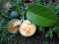 posoqueria-latifolia107