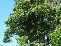 Cacique Pourouma bicolor