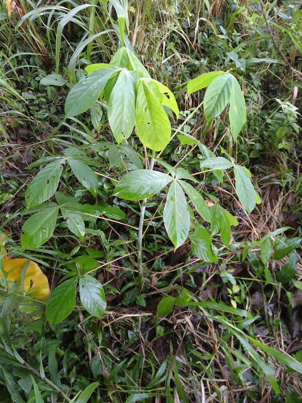 Pseudobombax-septenatum_junge_pflanze