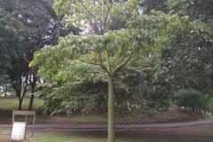 Pseudobombax-septenatum