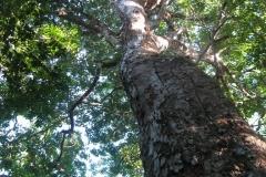 Foto Tempisque Baum