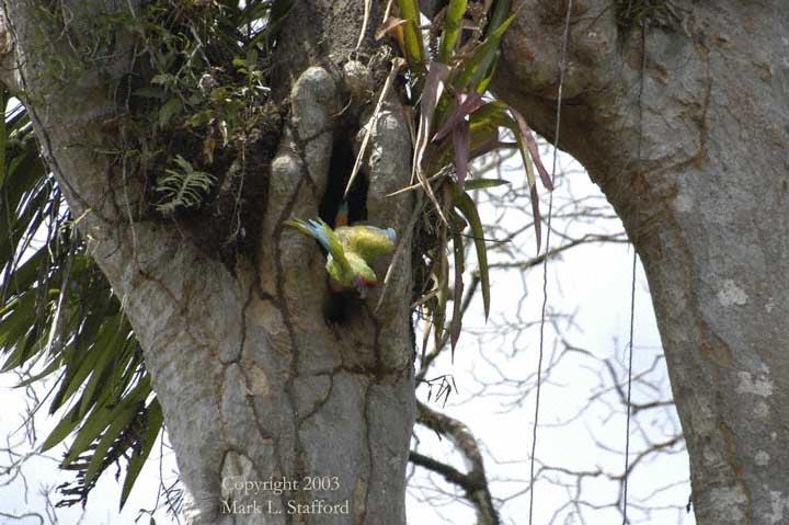 Ara beim Verlassen des Nests