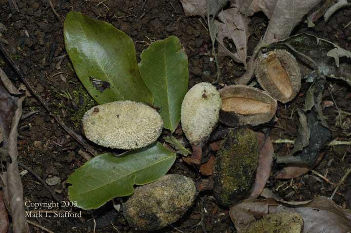 Früchte Dipteryx panamensis