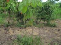Panama Baum Setzling