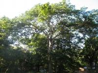 sterculia_apetala_Panamabaum