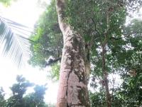Panamá - Sterculia apetala