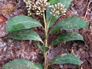 Foto Zweig mit Blüten von Ardisia compressa