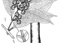 symphonia_globulifera_illustration