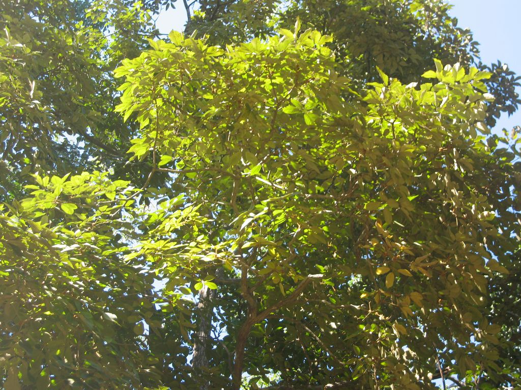 Guajakbaum-tabebuia-guayacan-Krone