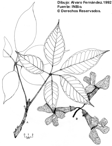 Illustration Tabebuia Guayacan
