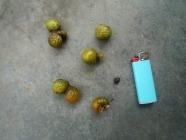 Waschnuss-Frucht-Same