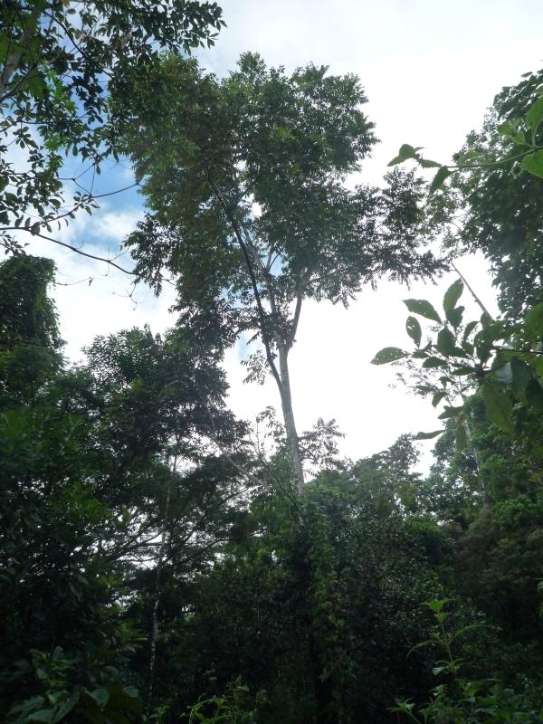 Holzpreise in Costa Rica – oder wieviel ist das Holz eines alten Baumes wert?