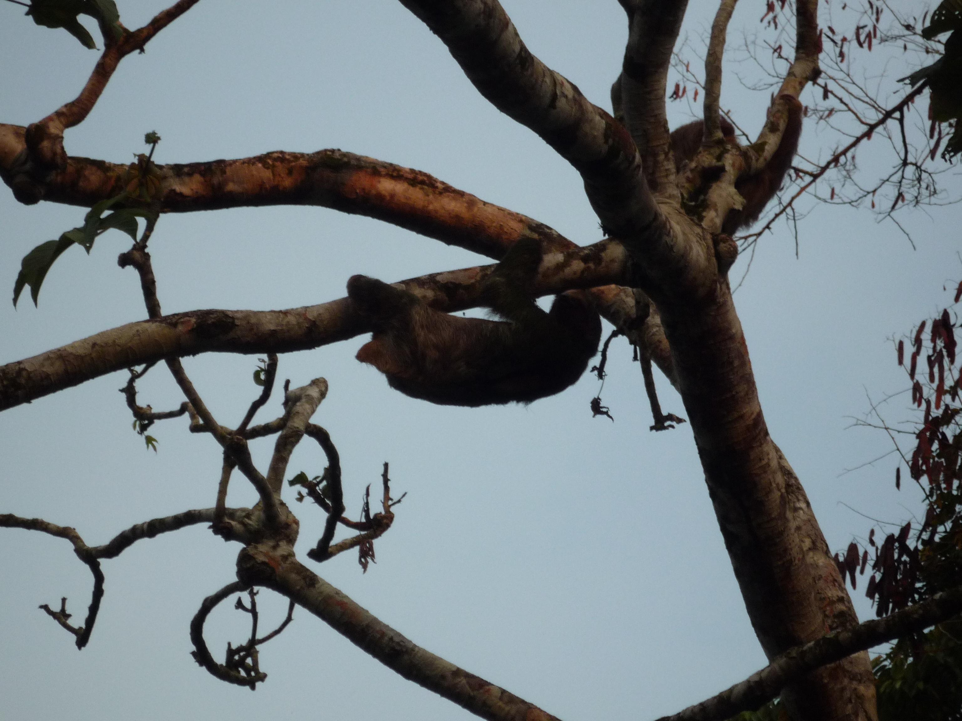 Faultiere im Ameisenbaum