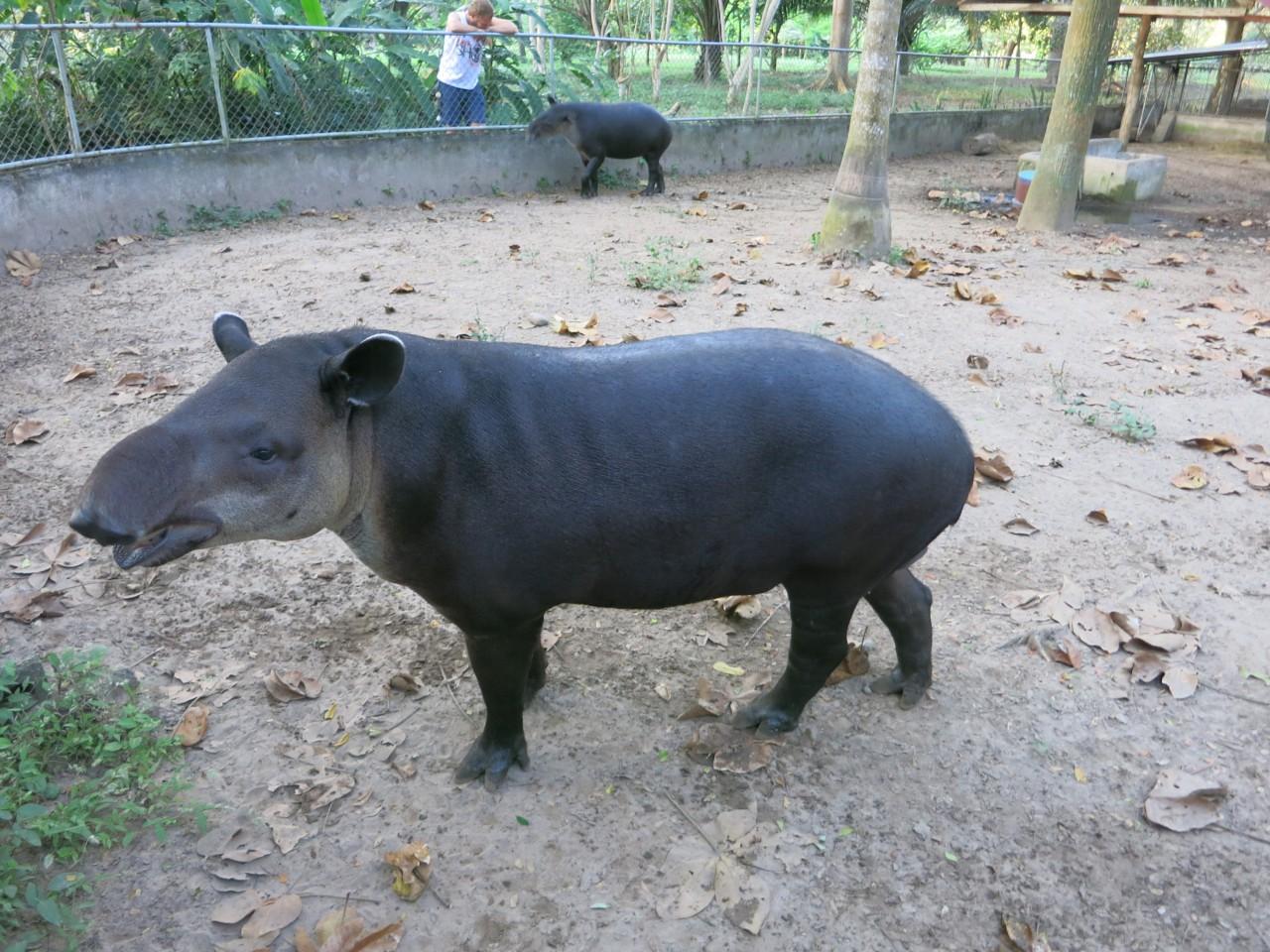 Mittelamerikanischer Tapir