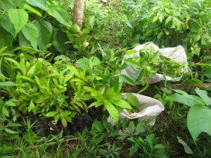 Ein Teil der Setzlinge, die wir zu Weihnachten gepflanzt haben. Zu sehen sind hauptsächlich Chirikaner (vantanea depla) und Titor (Sacoglottis Trichogyna).
