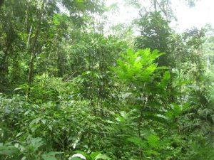 Hier ein Eindruck des Regenwaldes, der vor etwa 5 Jahren aufgeforstet wurde.