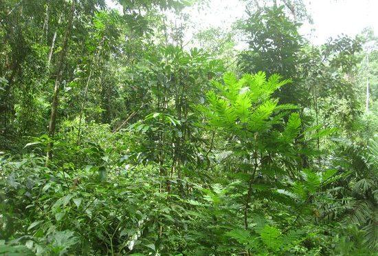 Ein nachhaltiges Weihnachtsgeschenk: Baum Patenschaft im Regenwald verschenken
