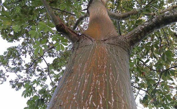 Waldmandel produziert sensationell schnell – weitere Baumarten integriert