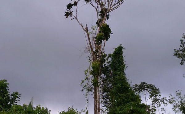 Tabakbaum Regenwald Baumpatenschaften Ein Originelles