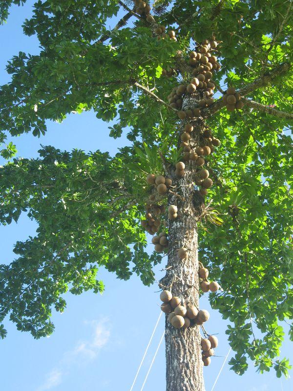 Kannonenkugelbaum