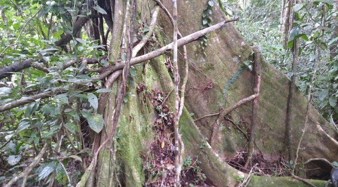 Die eindrucksvollen Wurzeln der Regenwaldbäume